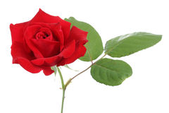 Red Rose. Isolated on a white background stock photography