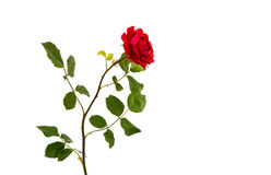 Red rose isolated. On white background Royalty Free Stock Images