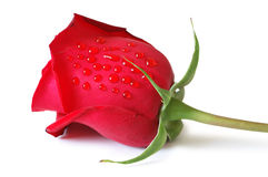 Red rose isolated on the white background Stock Photos