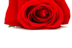 Red rose isolated on the white background Stock Photo