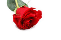 Red rose isolated on  the white background. Red rose isolated on the white  background Royalty Free Stock Image