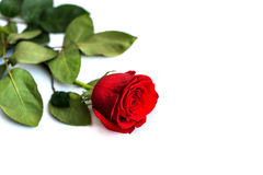 Red rose isolated on white background.  Stock Images
