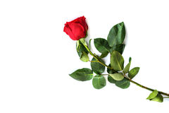 Red rose isolated on white background.  Royalty Free Stock Photo