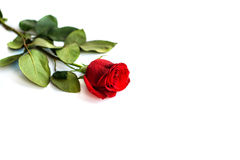 Red rose isolated on white background.  Royalty Free Stock Photos