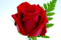 A red rose isolated Royalty Free Stock Photography