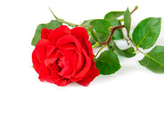 Red rose isolated on white background. Stock Photography