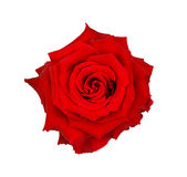 Red rose isolated on white background, clipping path Stock Image