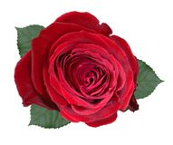 Red rose isolated on white background with leaves Stock Photo