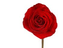 Red Rose Isolation. Beautiful red rose with green stem against white background Stock Photography