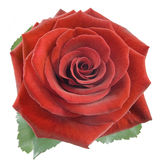 Red rose isplated. On the white background Stock Image
