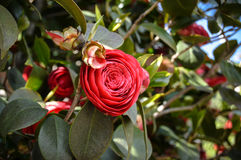 Red rose. In Italy stock image