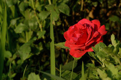 Red rose. Its a heard sun for a lady , save herv Stock Photography
