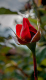 Red Rose. Just a red rose standing outside my house Stock Image