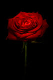 Red rose kissed with light. With black background Stock Photo