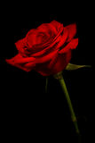 Red rose kissed with light. With black background Stock Photos