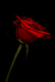 Red rose kissed with light Royalty Free Stock Photo