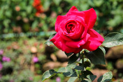 Red Rose in the Large Rose Garden Stock Image