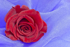 Red rose, lavender background, Royalty Free Stock Photo