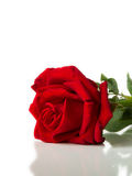 Red rose laying on White background Stock Image