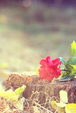 Red rose lays on a stump Stock Images