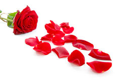 Red rose and leaves. In closeup over white background stock photo
