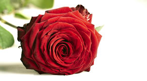 Red rose with leaves Royalty Free Stock Photos