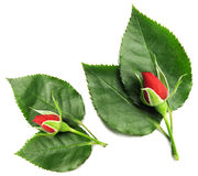 Red rose with leaves. Isolated on white Stock Images