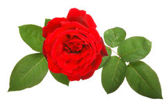 Red rose and leaves. Fresh red rose and leaves isolated on white stock photo