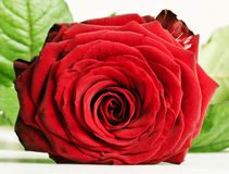 Red rose with leaves Royalty Free Stock Images