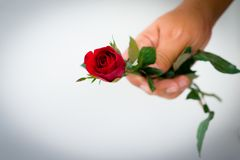 Red rose and leaves on hand on white stock images