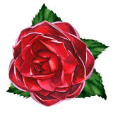 Red rose with leaves isolated, watercolor illustration on white Royalty Free Stock Photo