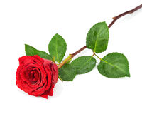 Red Rose with Leaves Isolated on White Background. Stock Photos