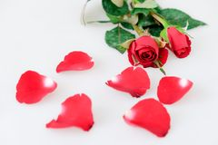 Red rose and leaves on white. Background royalty free stock images