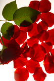 Red rose with liafs and petals. Red rose bud with leafs and petals are shined through royalty free stock images