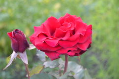 Red rose. The red rose is like a fine wine Royalty Free Stock Photos