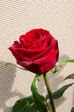 Red rose on linear background Royalty Free Stock Image