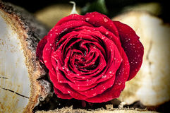 Red rose between logs. Red rose lying between two logs on the ground Royalty Free Stock Photos