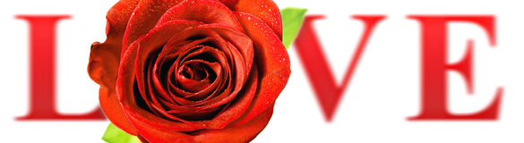Red rose LOVE Royalty Free Stock Photos