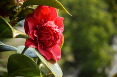 The red rose of love Royalty Free Stock Images