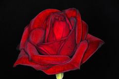 Red rose. For love, flower Stock Photography