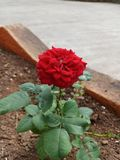 Red rose love stock image