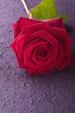 Red rose for love wedding and valentine Stock Photo