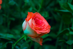 Red rose low key soft focus in the garden. For valentine day stock image