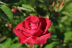 Red Rose. Luxurious red rose covered with the morning dew stock photos
