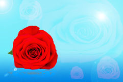 Red rose lying in the dew Royalty Free Stock Photography