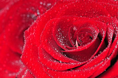 Red rose macro Stock Photo