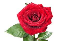 Red rose macro Royalty Free Stock Photos