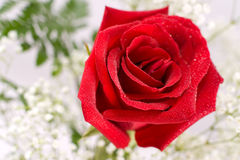 Red rose, macro Royalty Free Stock Photography