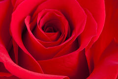 Red Rose Macro Royalty Free Stock Photo