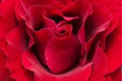 Red rose macro Stock Photo